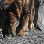 2.22.13-Tracking-Dog