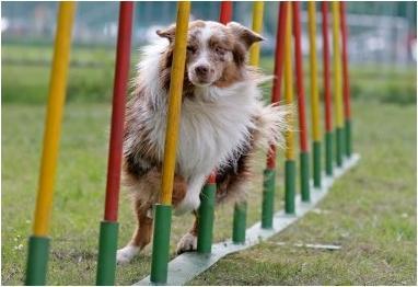 dog-agility-equipment