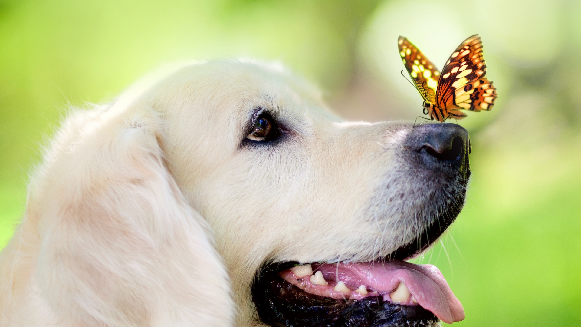 dog_muzzle_butterfly_tongue_sticking_out_spring_summer_93617_1920x1080
