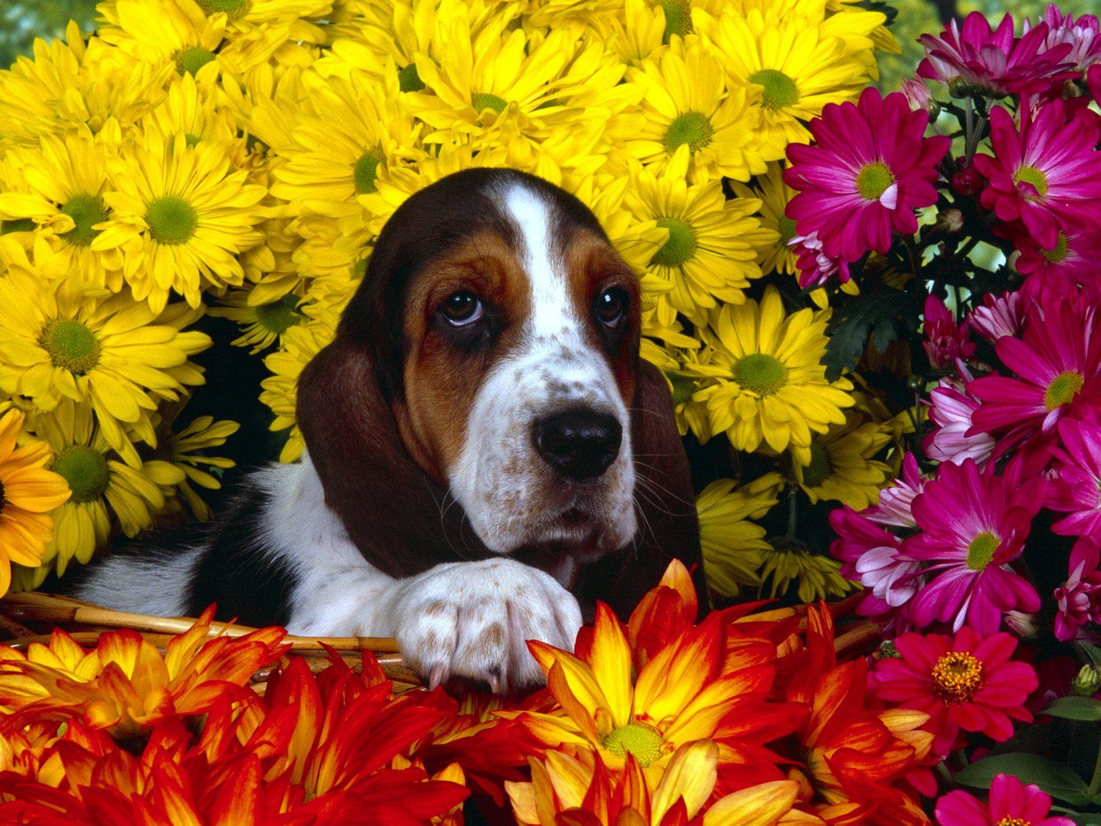 spring_scents_basset_hound